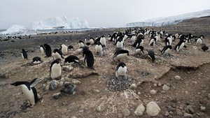 Adelie penguins nest at large colonies in the Ross Sea region.