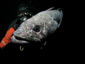 """There is more unknown about Antarctic toothfish than there is known"" Joe Eastman Antarctic Evolutionary Biologist. © Rob Robbins."